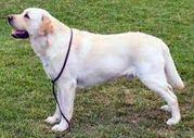 Labrador Training: Fun and Easy