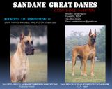 Sandane Kennels- Great Danes - Gurgaon