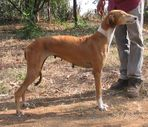 RAMPUR HOUNDS