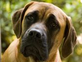 5 Easy Steps To Take Care of English Mastiff Puppies
