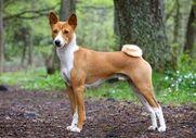 8 Dog Breeds That Bark Less