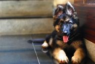 20 reasons why you should NEVER EVER own a German Shepherd