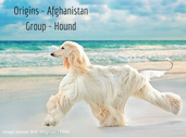 WagPedia 101: The majestic Afghan Hounds