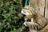 Cat 101 - Catnip, the