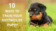 10 ways to train your Rottweiler Puppy