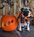 Benefits of pumpkin in pet's diet