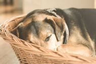 Osteoarthrosis - A Threat To Your Dog |  Dogspot.in