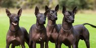 Know More About This Rare Dog Breed: Xoloitzcuintli