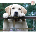 Feeding Your Labrador – The Right Food, And The Right Way