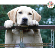 Feeding Your Labrador � The Right Food, And The Right Way