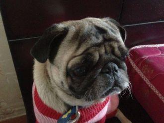 Rufus - Pug
