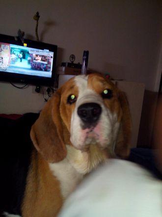 Marley  - Beagle
