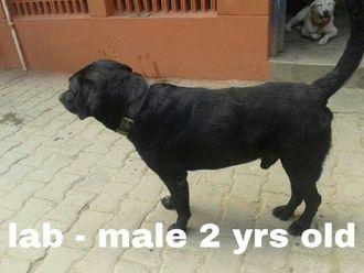 Blacky - Labrador Retriever