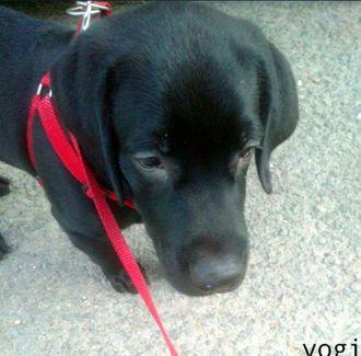 Yogi - Labrador Retriever