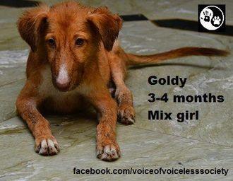 Goldy - Mixed Breed