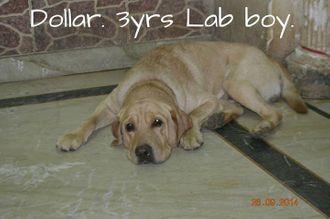 Dollar - Labrador Retriever