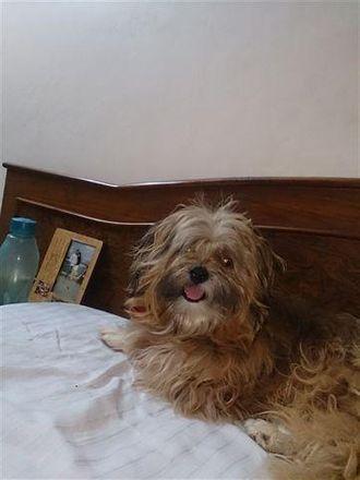 Cookie - Lhasa Apso