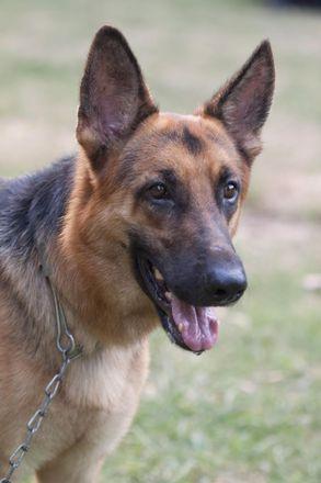 Leon - German Shepherd