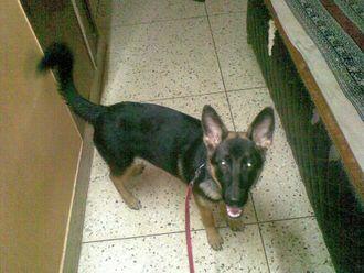 Charlie - German Shepherd