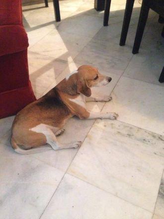 Binny - Beagle