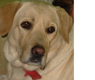 Ginger - Labrador Retriever