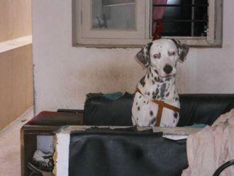 Dots - Dalmatian