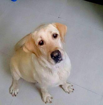 Tuffy - Labrador Retriever