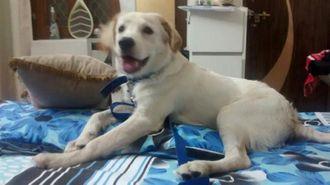 Dodger - Labrador Retriever