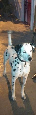 Tuffy - Dalmatian
