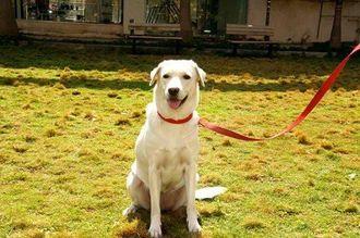 Scooby - Labrador Retriever