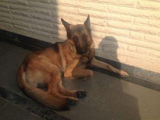 Shera - German Shepherd