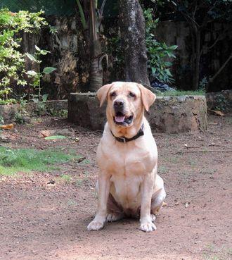 Precious - Labrador Retriever