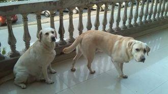 Kruger and Kara - Labrador Retriever