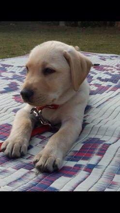 Lassy - Labrador Retriever