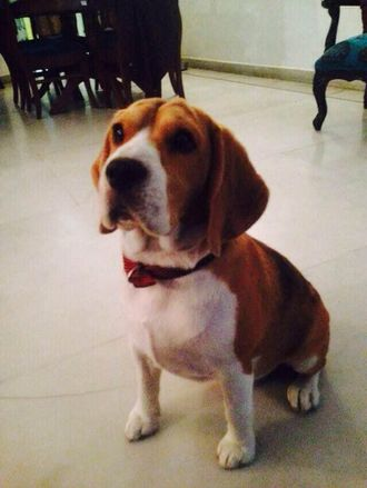 Betty - Beagle