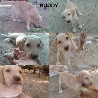 Buddy - Mongrel