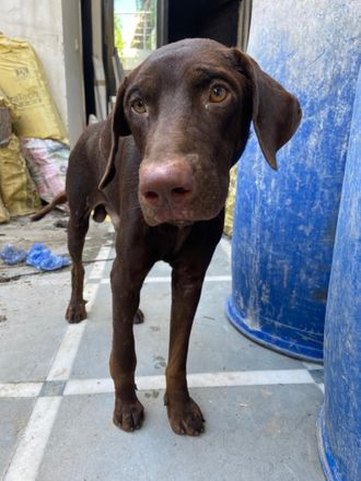 Brownie (Tentative) - Indian Pariah Dog