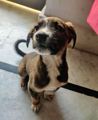 Chingi - Indian Pariah Dog