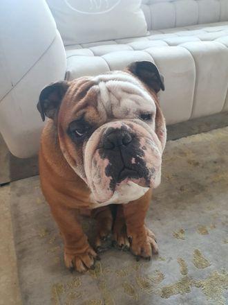 Bruno - Bull Dog
