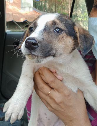 Lavie (Tentative) - Indian Pariah Dog