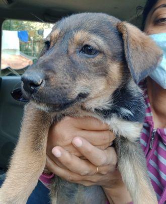 Molly (Tentative)  - Indian Pariah Dog