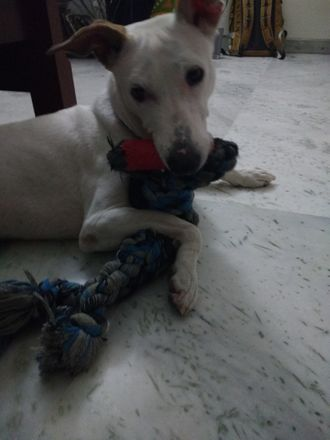 Roadie - Jack Russell Terrier