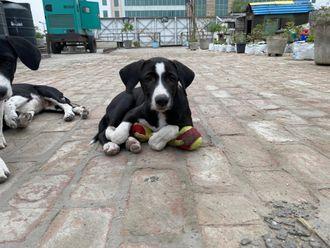 Alfie - Indian Pariah Dog