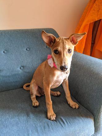 Alexis Rose  - Indian Pariah Dog