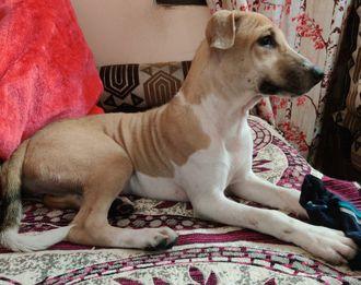 Barfi  - Indian Pariah Dog