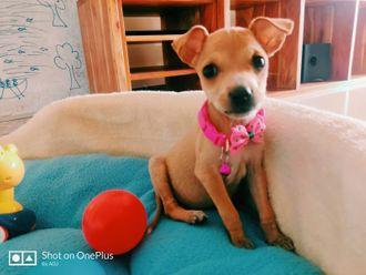 Bella - Indian Pariah Dog