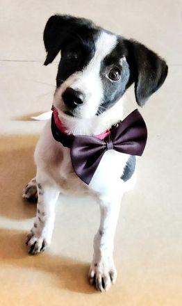 Cheeto - Indian Pariah Dog