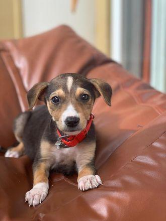 Coco - Indian Pariah Dog