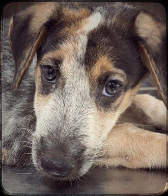 Bobo - Indian Pariah Dog