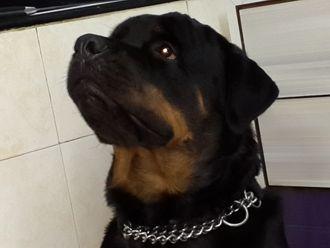Jojo - Rottweiler